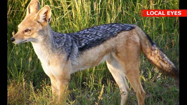 at have en ræv bag øret dansk pirno