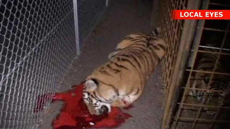 Den dræbte tiger i blodpøl