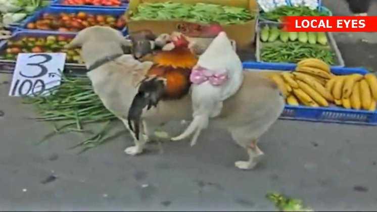 Hønsene ser ud til at nyde udstillingsvinduet