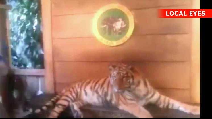 Modig fyr med tiger