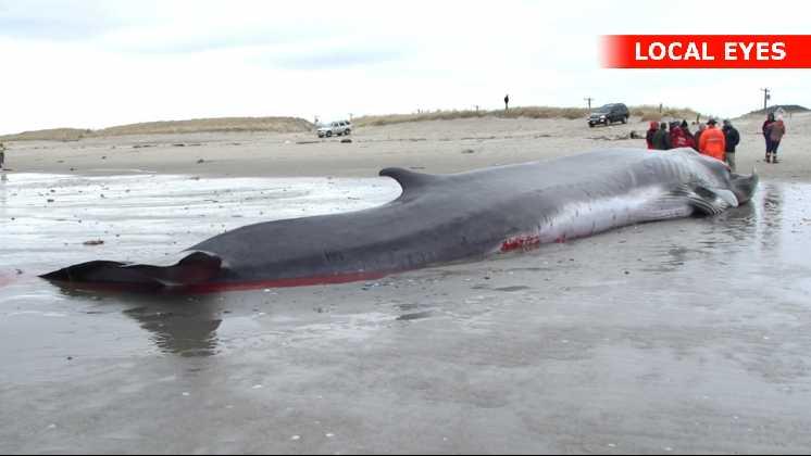 Strandede Finhval er nu død